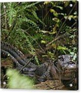 Alligator's Life Acrylic Print