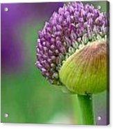 Allium Blooming Acrylic Print