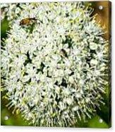 Allium Flower And Lightning Bug Acrylic Print