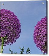 Allium Flowers Acrylic Print