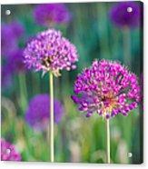 Allium Flowers - Featured 3 Acrylic Print