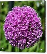 Allium Globe Acrylic Print