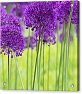 Allium Hollandicum Purple Sensation Flowers Acrylic Print