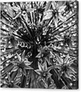Allium Jewels Acrylic Print