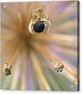 Allium Lucille Ball Seedpod Acrylic Print