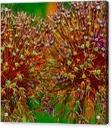 Allium Seeds Acrylic Print