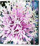 Allium Series - After The Rain Acrylic Print by Moon Stumpp