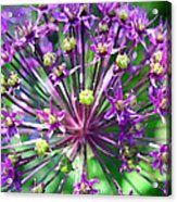 Allium Series - Close Up Acrylic Print by Moon Stumpp