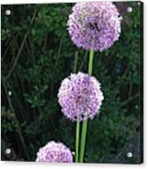 Alliums Acrylic Print