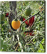 Almost Harvest Time Acrylic Print