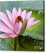 Almost In Full Bloom Acrylic Print