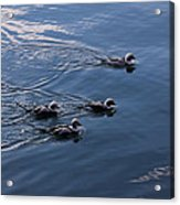 Almost Synchronized Swimming  Acrylic Print