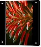 Aloe Bloom Window 3 Acrylic Print