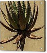 Aloe Ferox Acrylic Print
