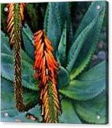 Aloe Acrylic Print