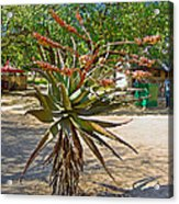 Aloe Plant In Kruger National Park-south Africa Acrylic Print