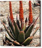 Aloe Vera At The Arboretum Acrylic Print