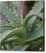 Aloe Vera Leaves  Acrylic Print