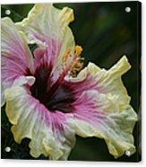 Aloha Aloalo Tropical Hibiscus Haiku Maui Hawaii Acrylic Print