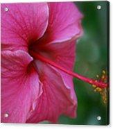 Aloha Aloalo Ulu Wehi Pink Tropical Hibiscus Wilipohaku Hawaii Acrylic Print