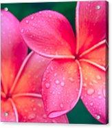 Aloha Hawaii Kalama O Nei Pink Tropical Plumeria Acrylic Print