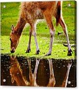 Along The Water Grazing Pere David's Deer Acrylic Print