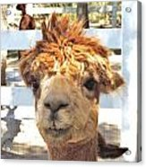 Alpaca Bed Head Acrylic Print
