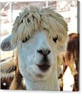 Alpaca Hair Do Acrylic Print