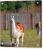 Alpaca Acrylic Print by Rhonda Humphreys