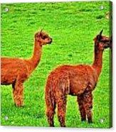 Alpacas Acrylic Print