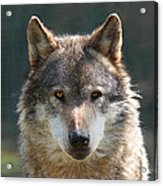 Alpha Male Wolf - I'm Watching You Acrylic Print