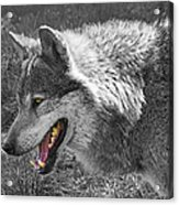 Alpha Male Wolf - You Look Tasty 2 Acrylic Print