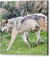 Alpha Wolf On The Move Acrylic Print