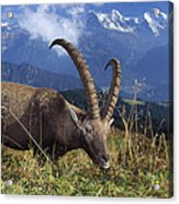 Alpin Ibex Male Grazing Acrylic Print by Konrad Wothe