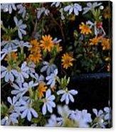 Alpine Beauties Acrylic Print