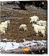 Alpine Mountain Goats Acrylic Print