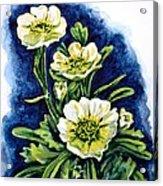 Alpine Ranunculus Acrylic Print by Zaira Dzhaubaeva