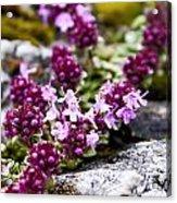 Alpine Thyme Acrylic Print