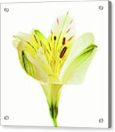 Alstroemeria Flowers Against White Acrylic Print