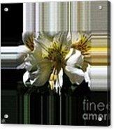 Alstroemeria Named Marilene Staprilene Acrylic Print
