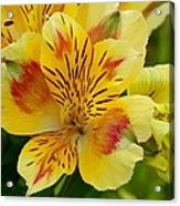 Alstroemerias Flower 1 Acrylic Print