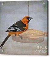 Altamira Oriole Acrylic Print