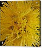 Amarilla Acrylic Print