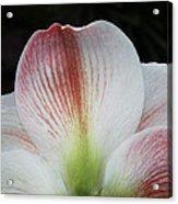 Amaryllis #3 Acrylic Print