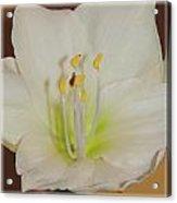 Amaryllis-5 Acrylic Print