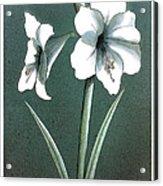 Amaryllis Acrylic Print