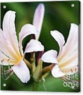 Amaryllis Belladonna Naked Ladies Acrylic Print