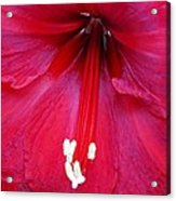 Amaryllis Close-up Acrylic Print