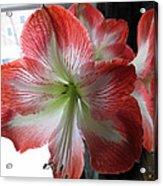 Amaryllis In Bloom Acrylic Print
