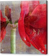 Amaryllis In The Rough Acrylic Print